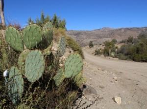 mexicocactus