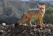 Zorro gris, South American fox